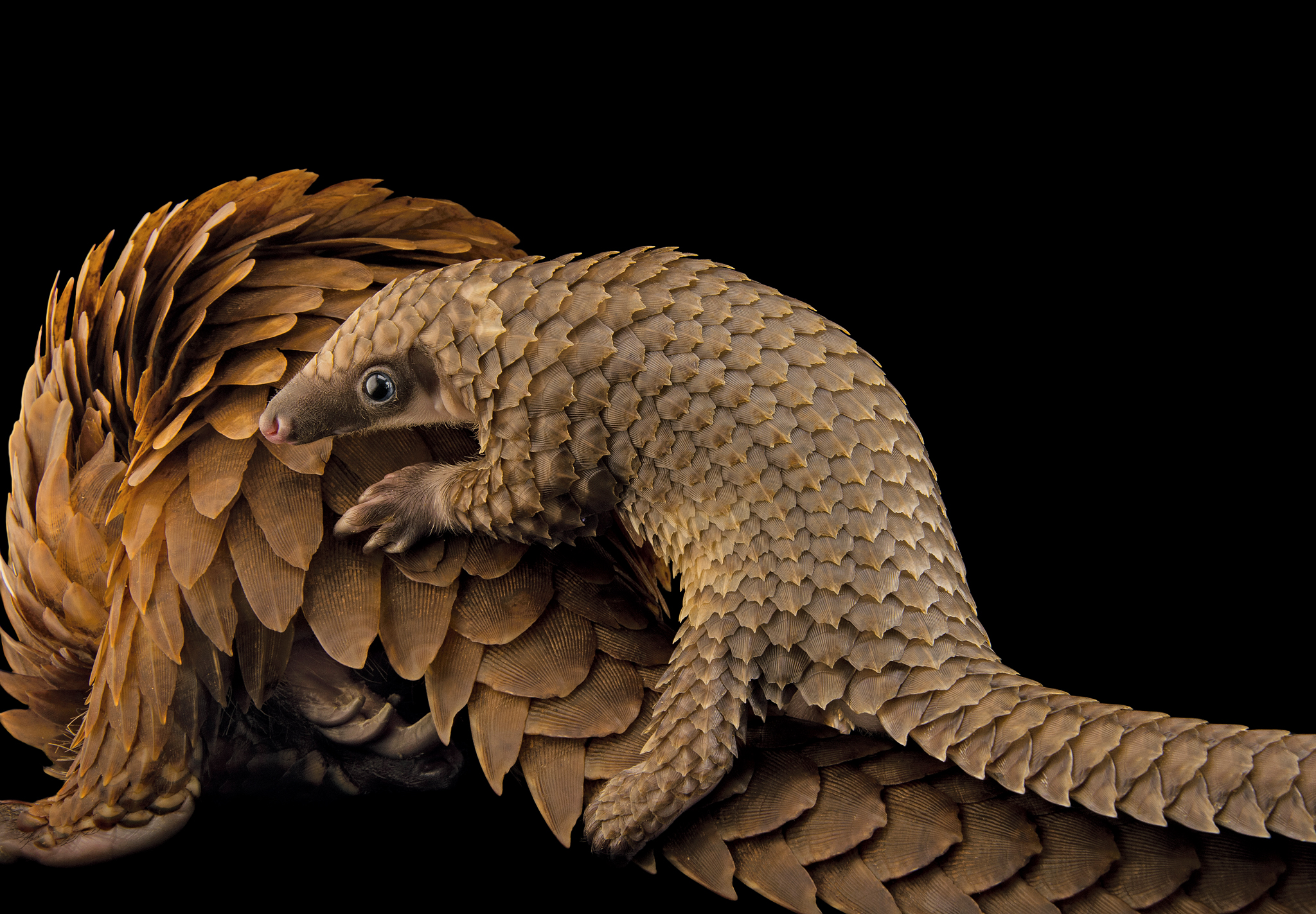 A baby white-bellied pangolin (Phataginus tricuspis) clings to her mother's back at a facility in Florida. At just 70 days old, this captive-born baby was a first in captivity! This species, like many other pangolin species, is illegally taken from the wild. Unfortunately, it is falsely believed that the protective keratin scales have curative properties.