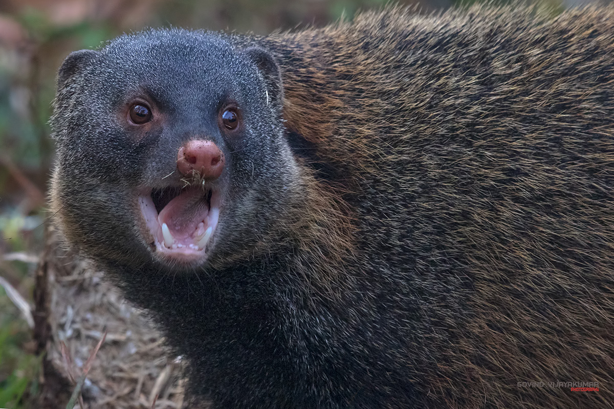 strip_necked_mongoose_portrait1_kabini